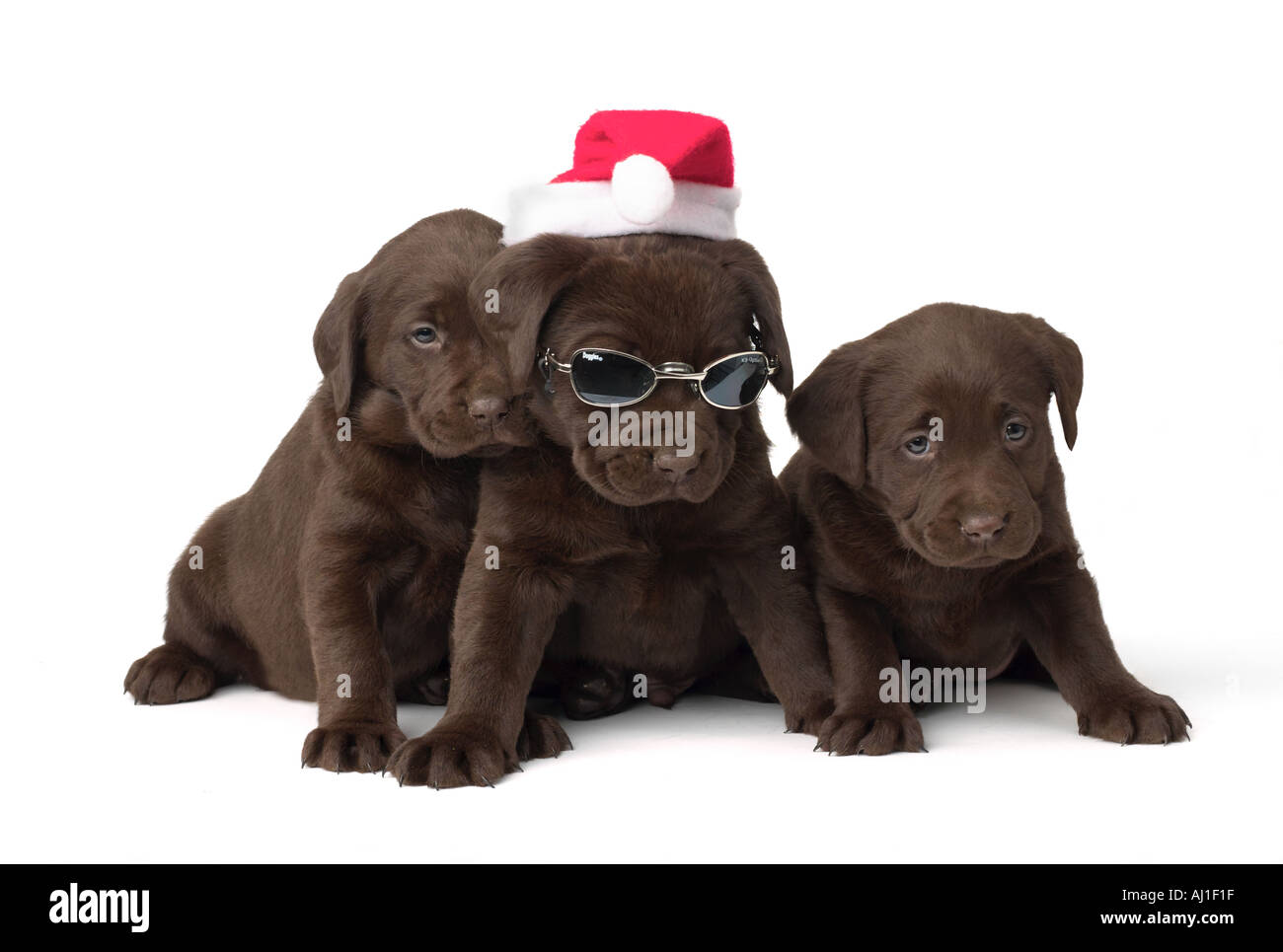 Chocolate Lab Puppies High Resolution Stock Photography And Images Alamy