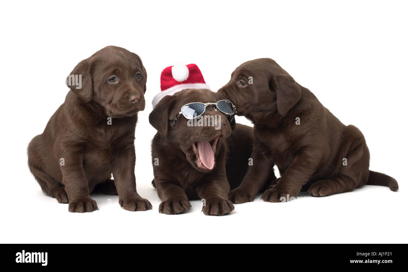 Chocolate Lab Christmas Puppies Stock Photo Alamy