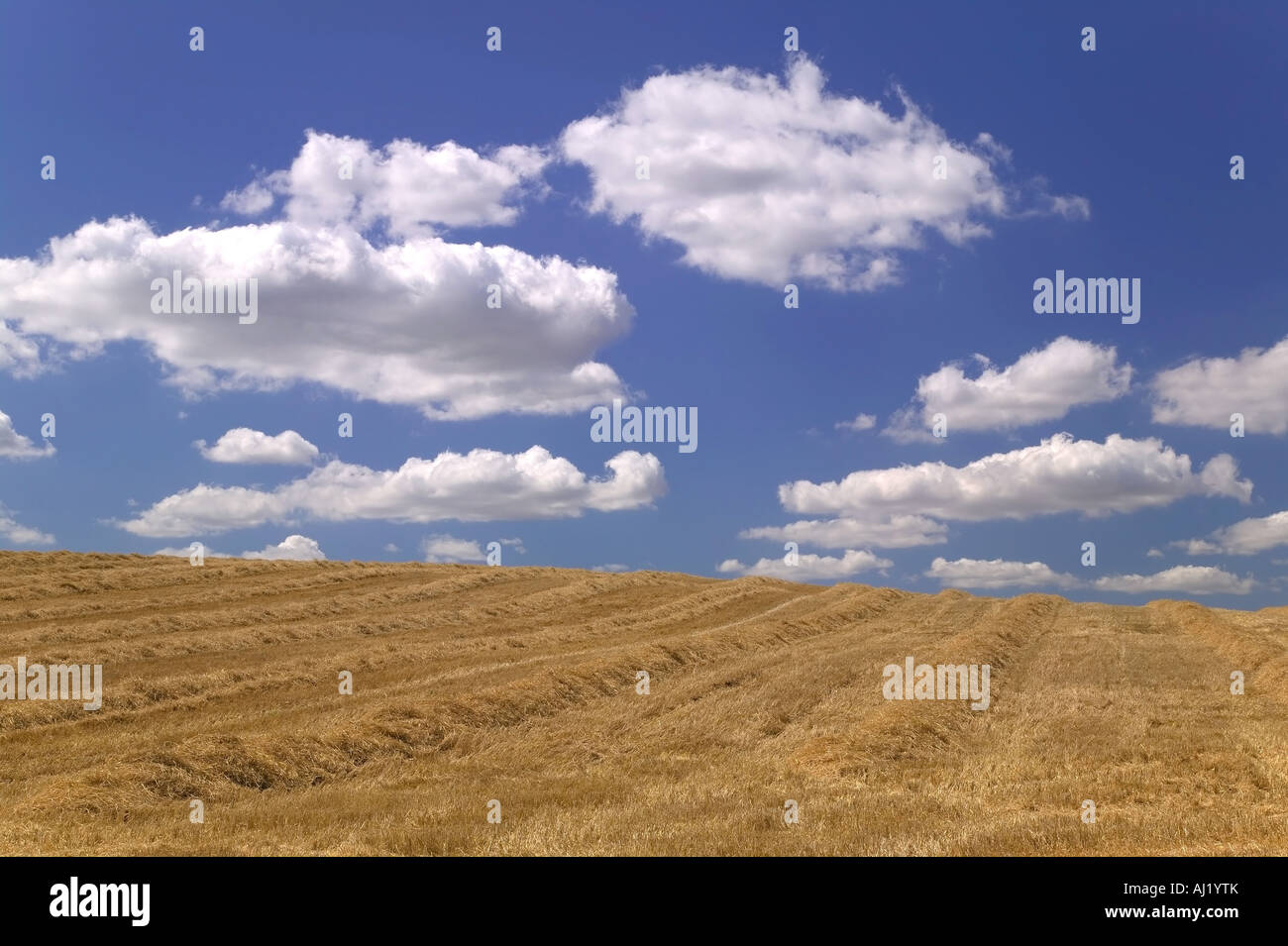 Golden field of cut hay against a beautiful blue cloudy sky Stock Photo