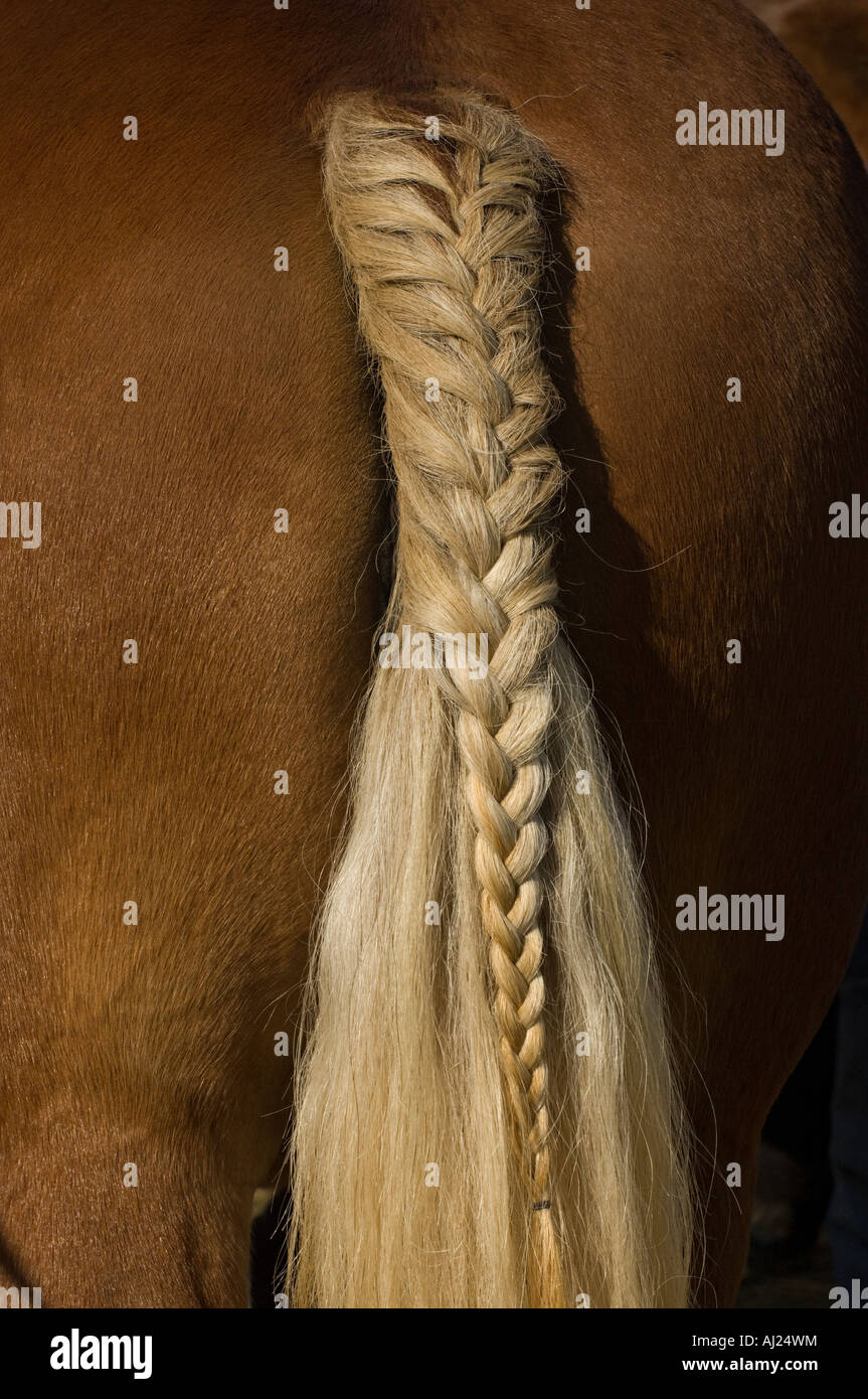 Closeup on the tail braid of a horse during a draft horse competition. - Stock Image
