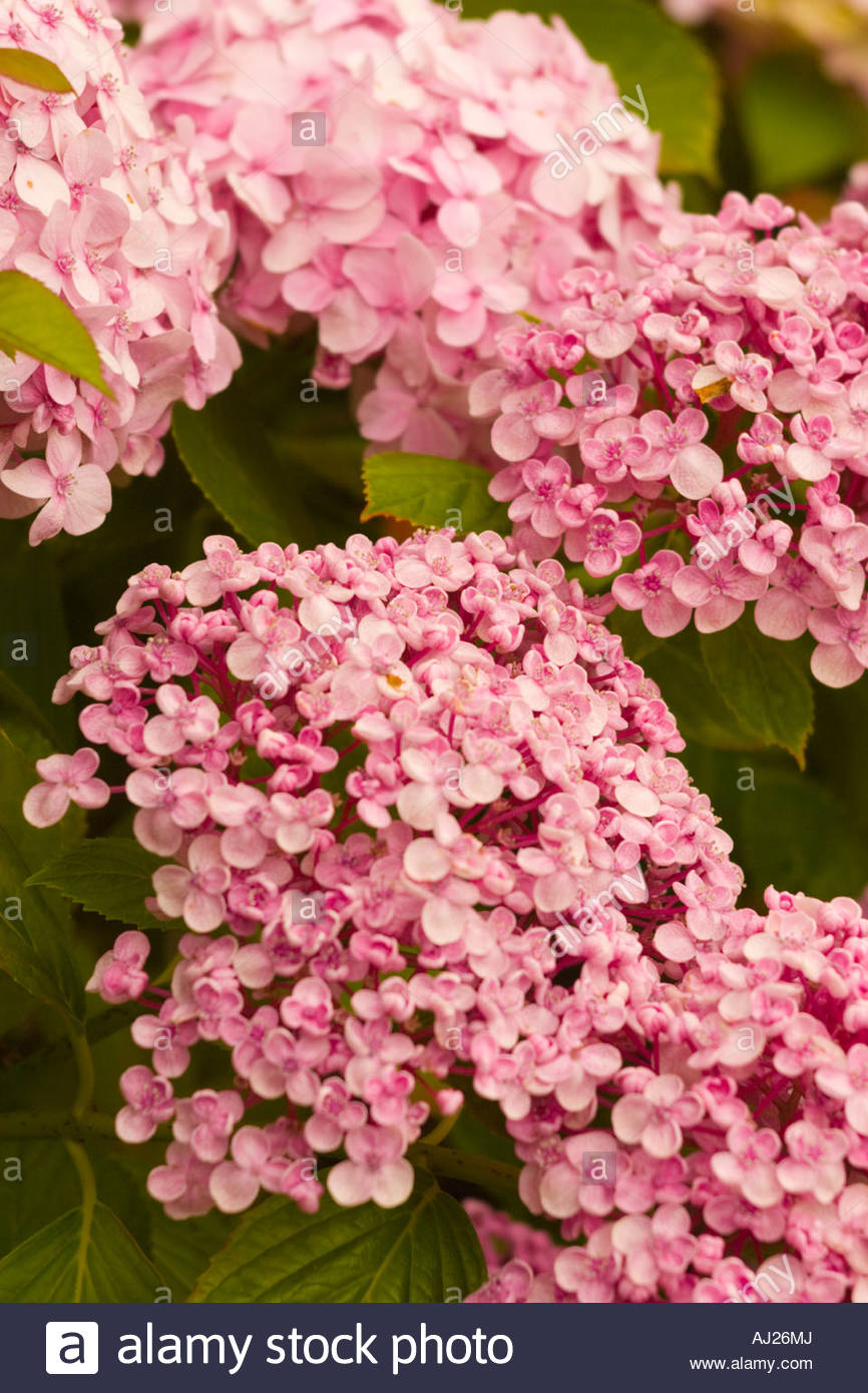 Hortensia Flower With Light Pink Flowers Small Type Stock Photo