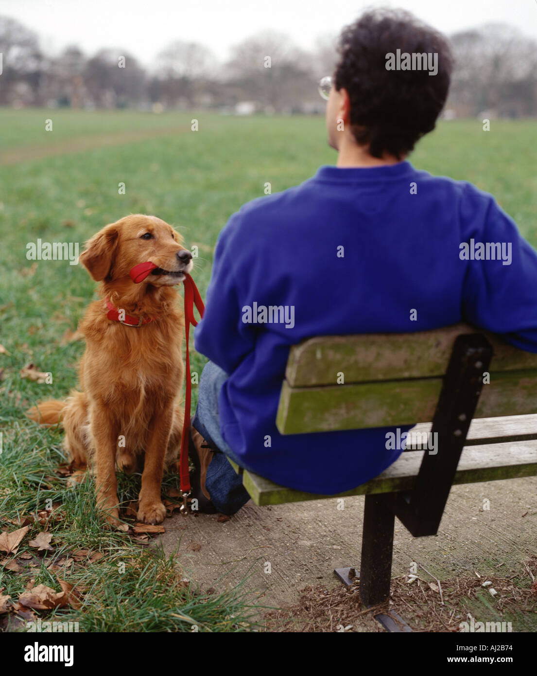 golden retriever waiting for a walk - Stock Image