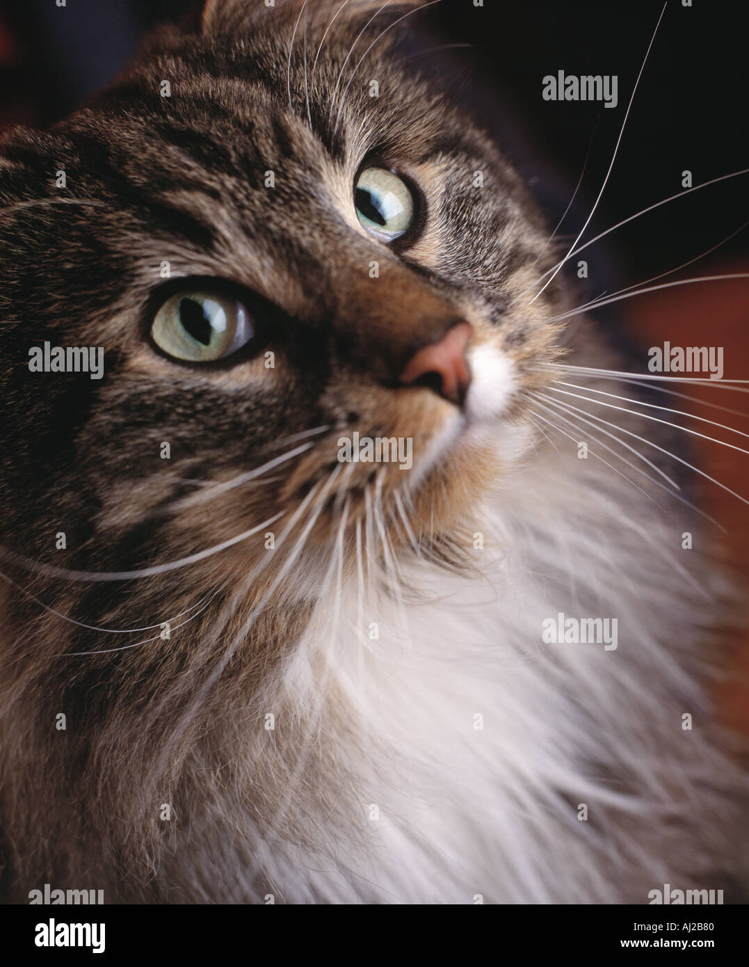 tabby cat in profile with long hair - Stock Image