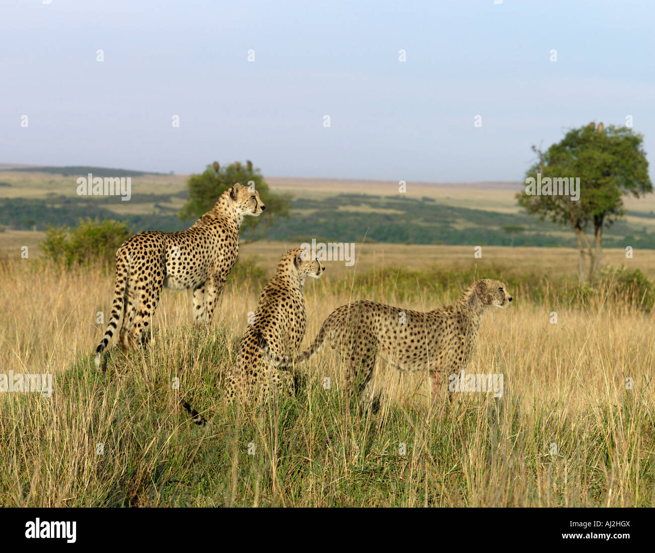A family of three young cheetahs stand on a termite mound to seek their quarry of small antelopes grazing on the - Stock Image