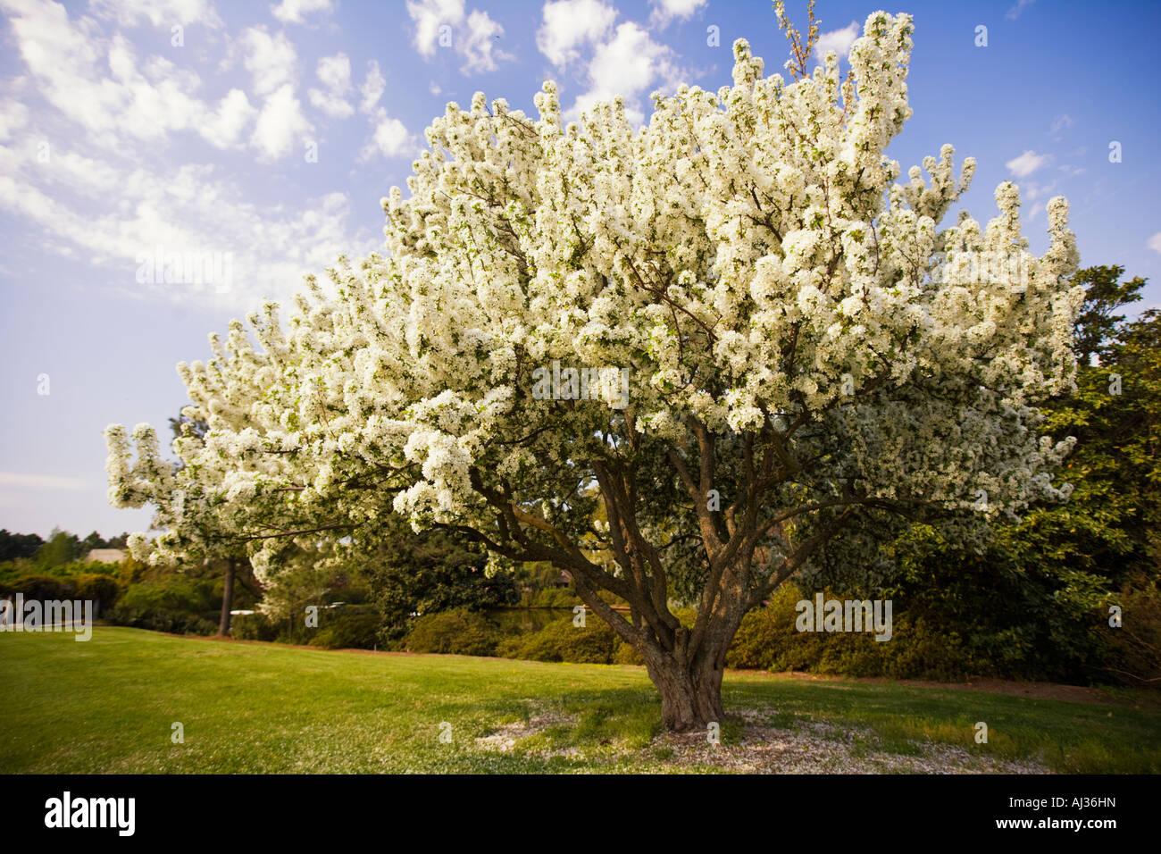 Large flowering tree in Spring at the Norfolk Botanical Gardens ...