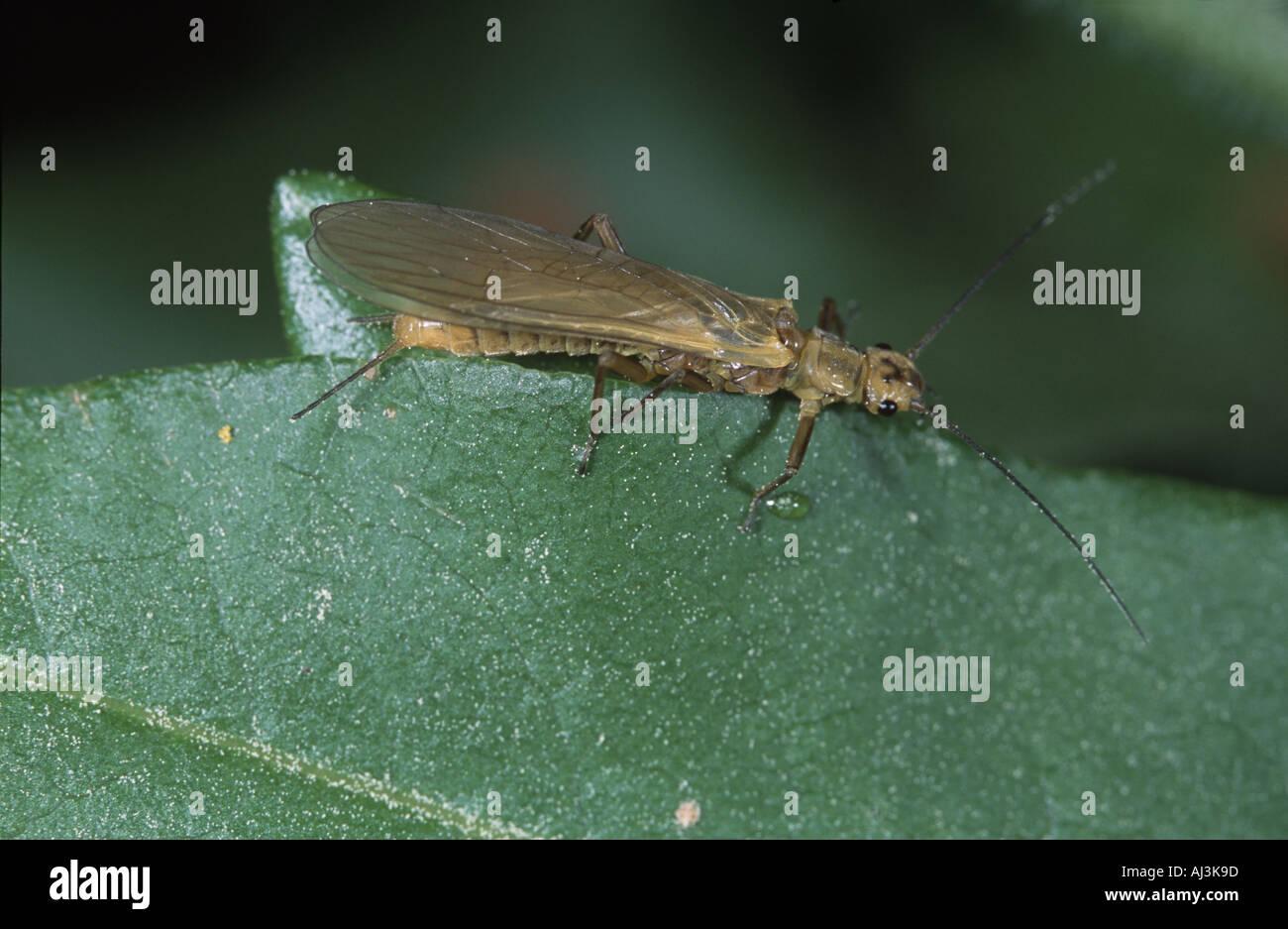 Adult Stonefly Plecoptera Isoperla grammatica - Stock Image