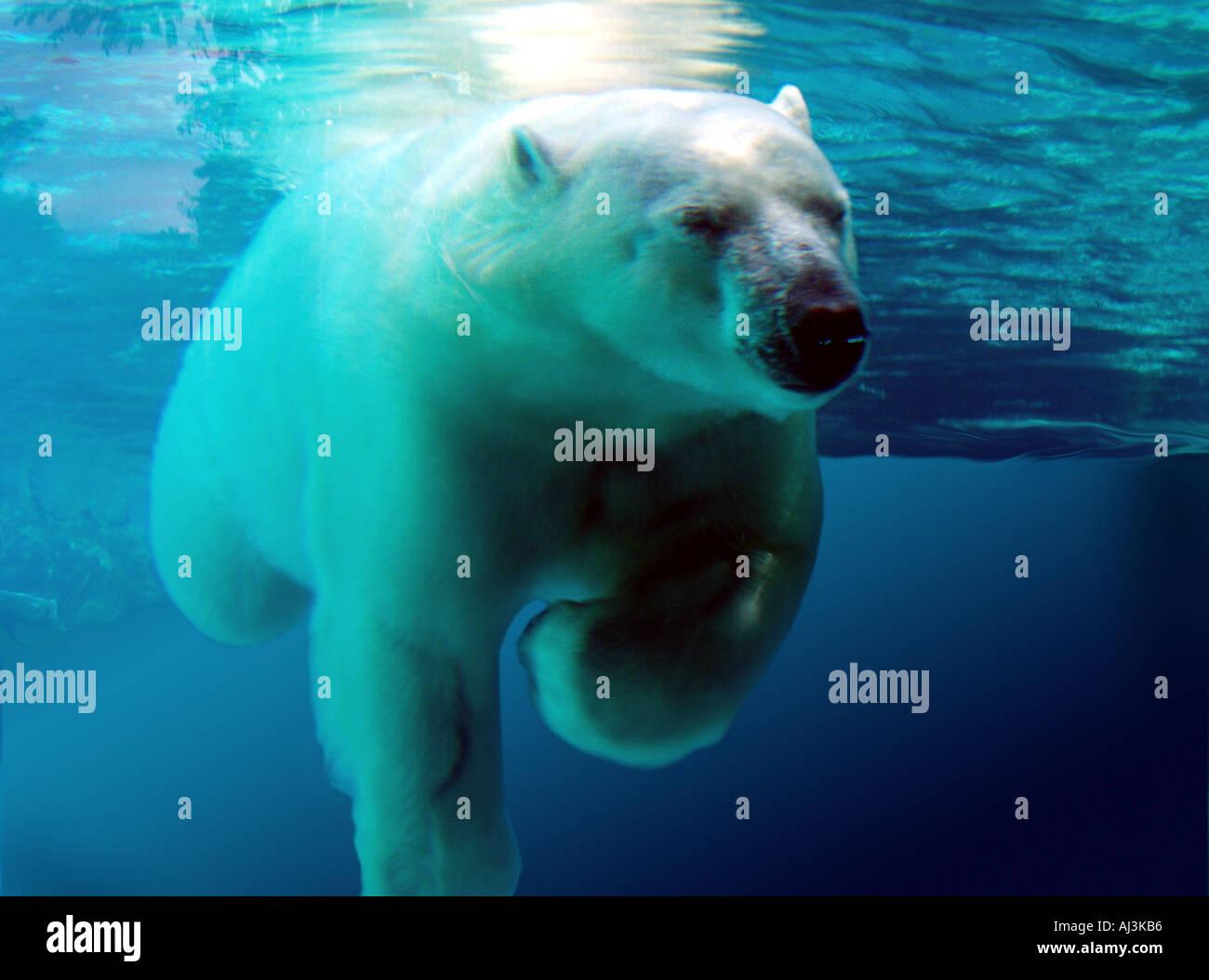 Polar bear swimming in ocean - photo#45