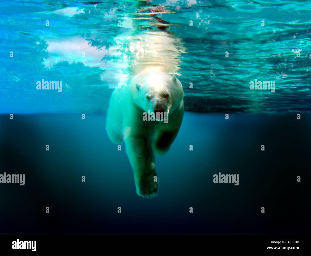 Polar Bear Submerged & Swimming - Stock Image