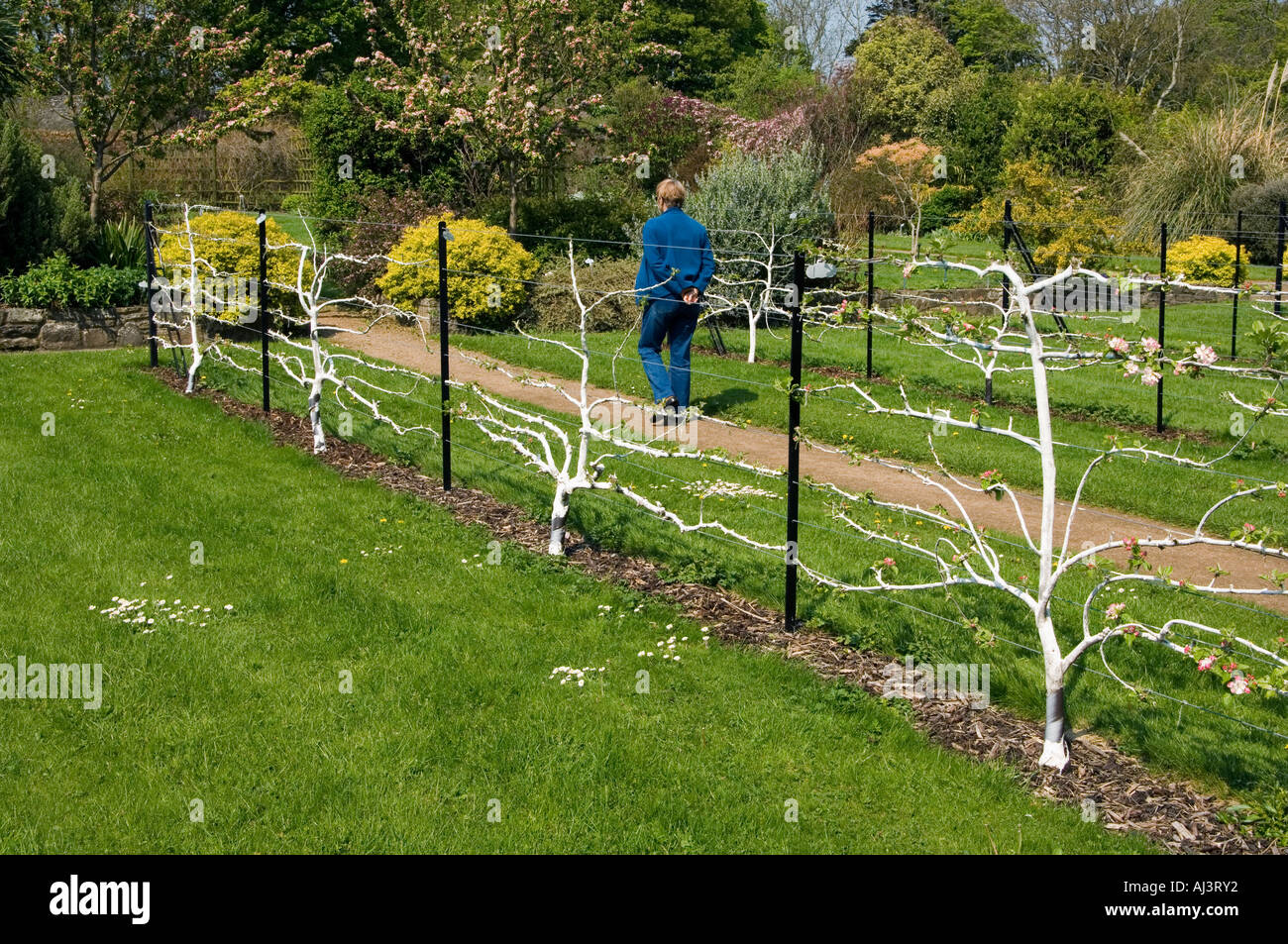 Fruit Trees Sepaliered On A Wire Fence In A Victorian Kitchen Garden At  Ardgillan Park,