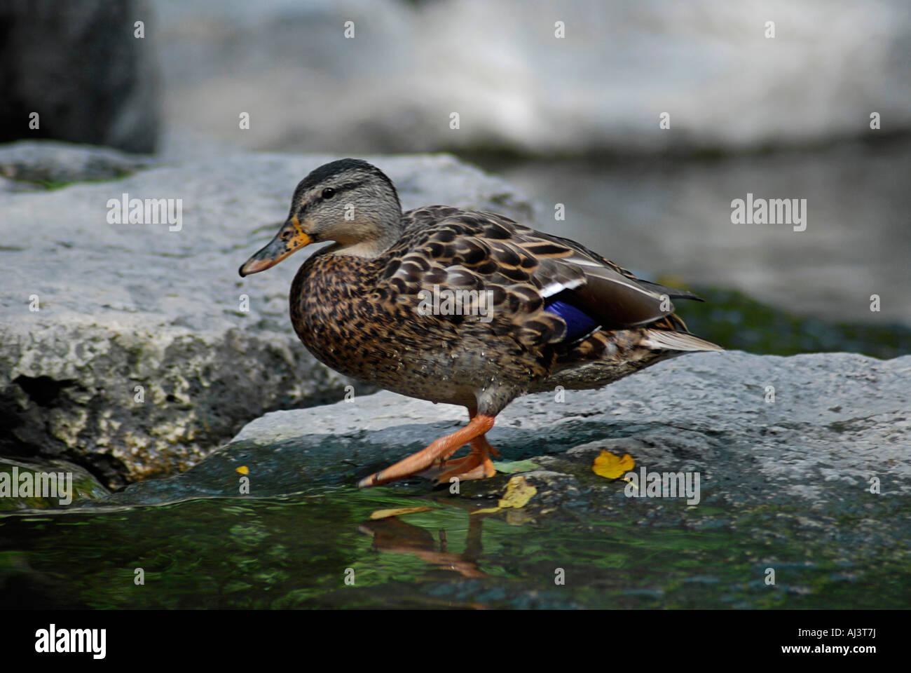 Mallard Duck Female - Stock Image