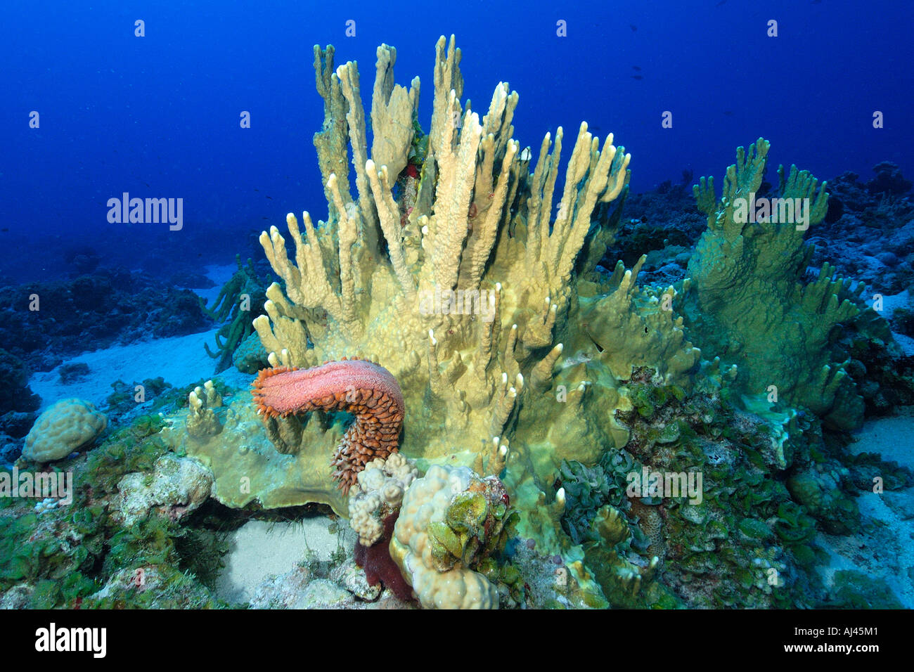 Sea cucumber Thelenota ananas falling off Fire coral Millepora platyphylla Ailuk atoll Marshall Islands Pacific - Stock Image