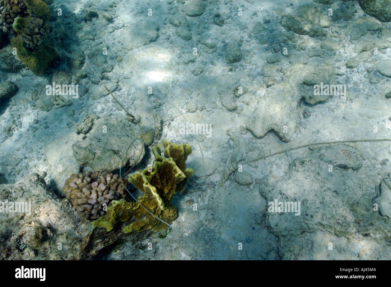 Fishing line tangled on fire coral Millepora sp Ailuk atoll Marshall Islands Pacific - Stock Image