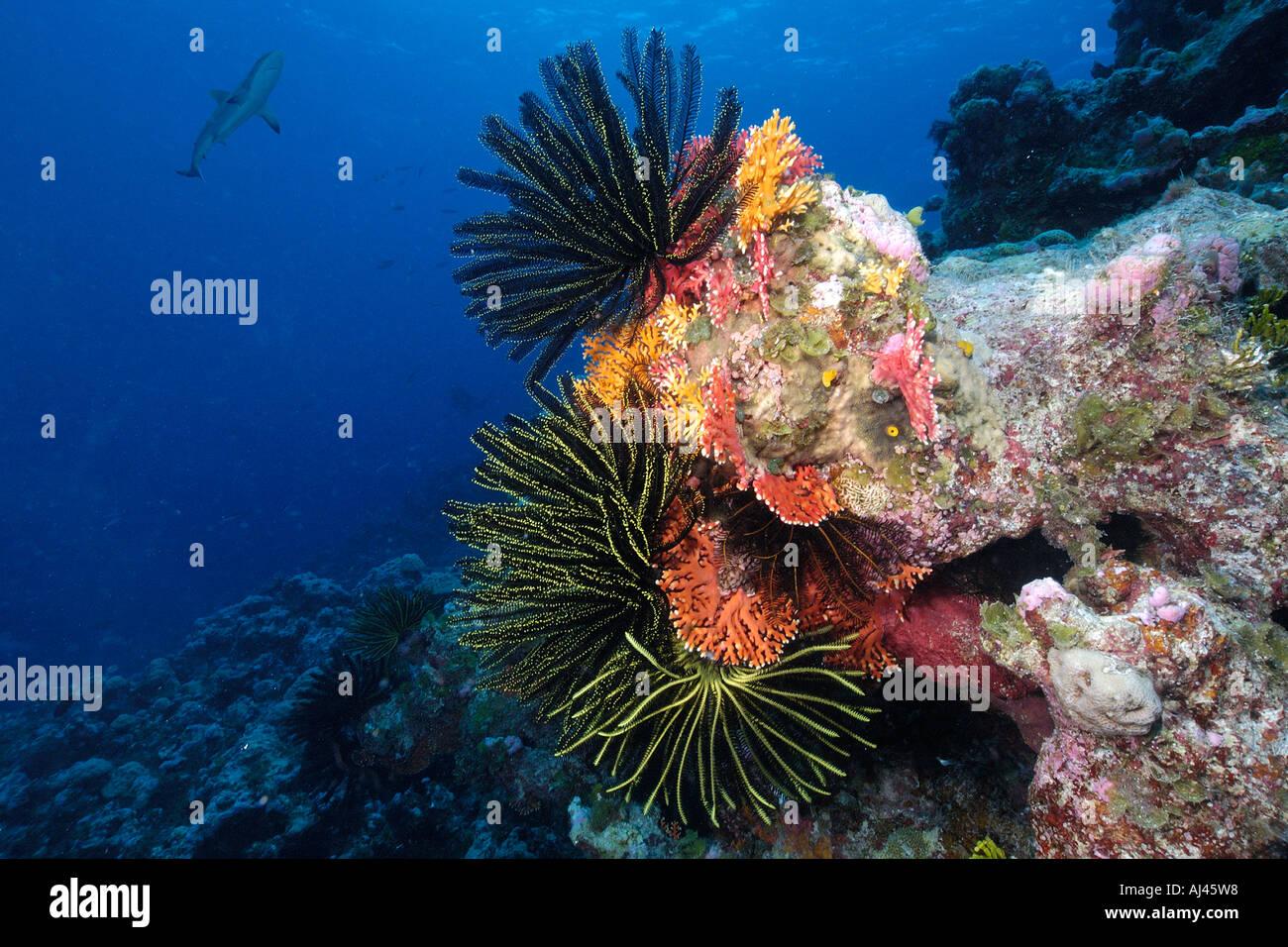 Feather stars and juvenile gray reef shark Carcharhinus amblyrhynchos Ailuk atoll Marshall Islands Pacific - Stock Image