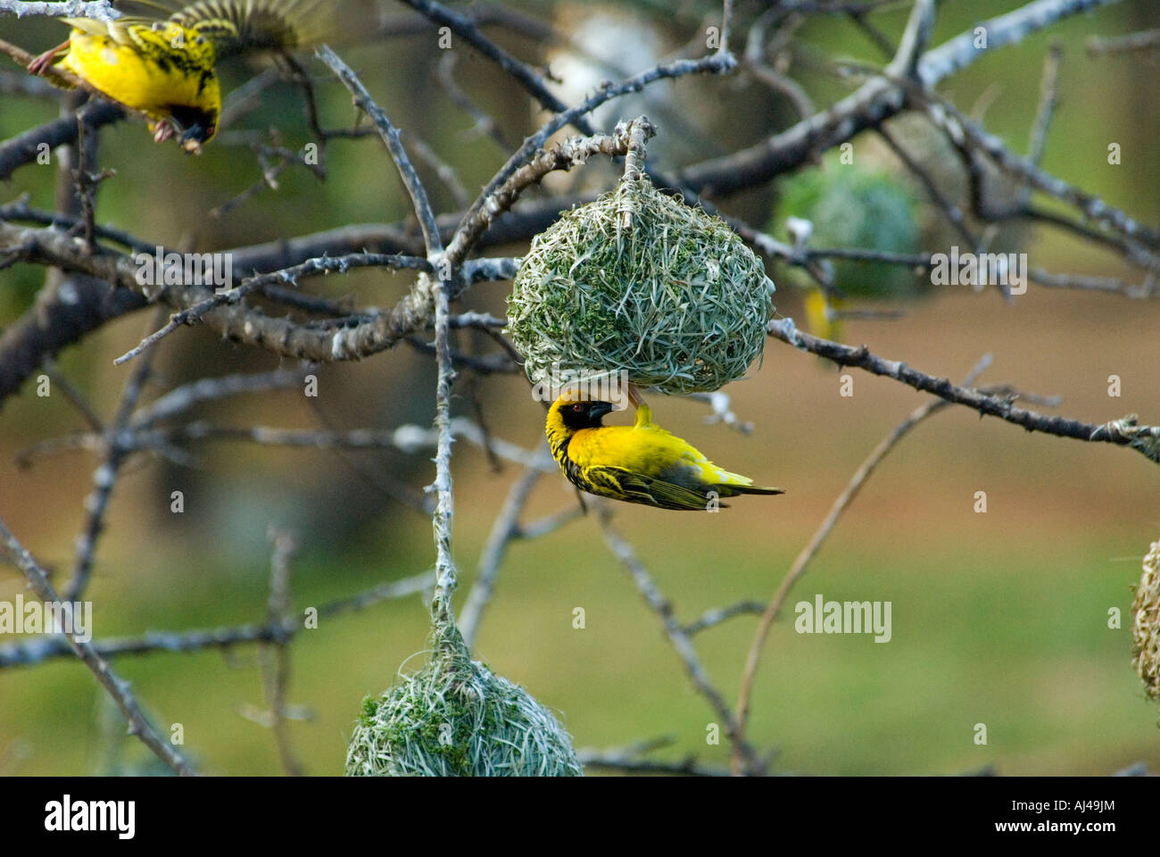 Male masked weaver Ploceus velatus weaving a nest South Africa - Stock Image
