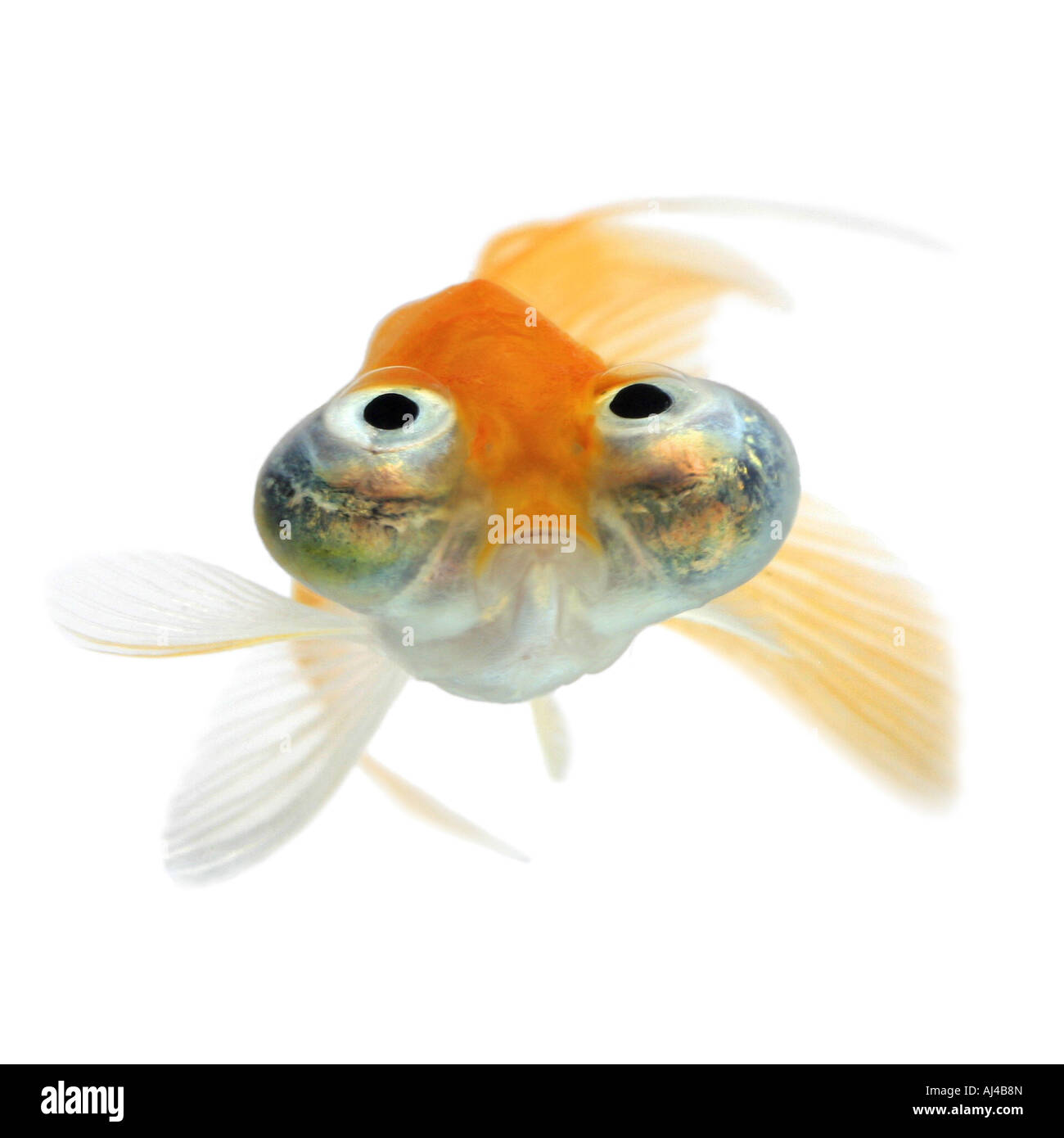 Carassius auratus goldfish common carp celestial eye goldfish Celestial Chotegan Stock Photo