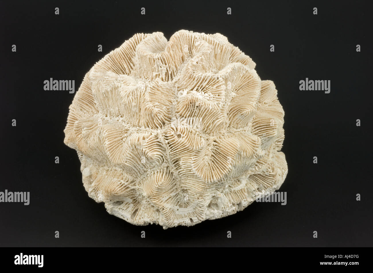 Pliocene Rose Coral fossil - Stock Image