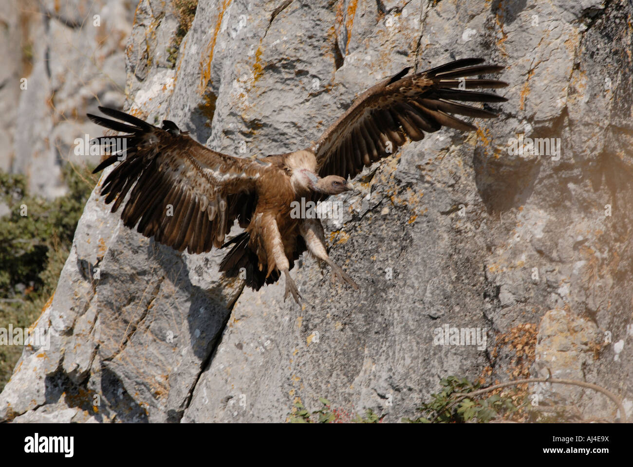 Adult Griffon Vulture about to land with wings swept forward - Stock Image