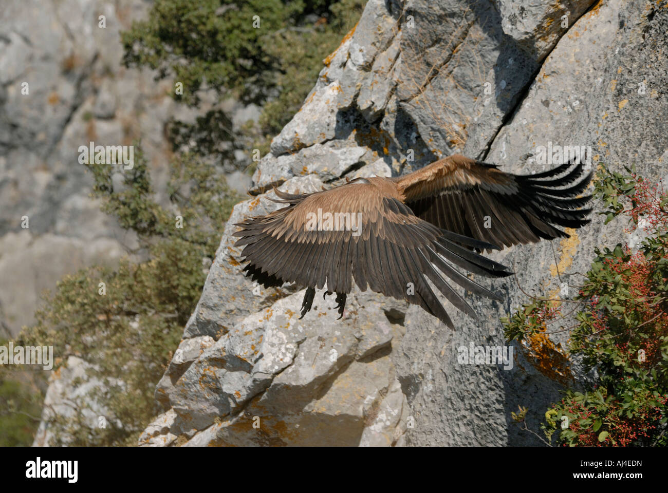 Adult Griffon Vulture coming into land with wings swept forward - Stock Image
