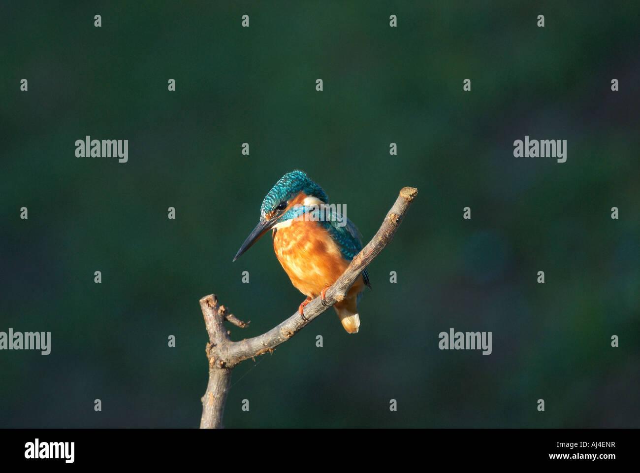 Kingfisher perching - Stock Image