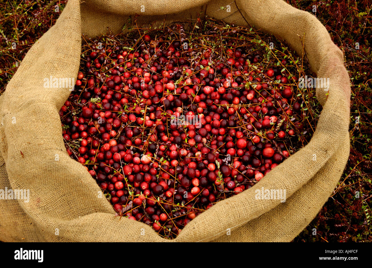 Sack of dry harvested cranberries - Stock Image