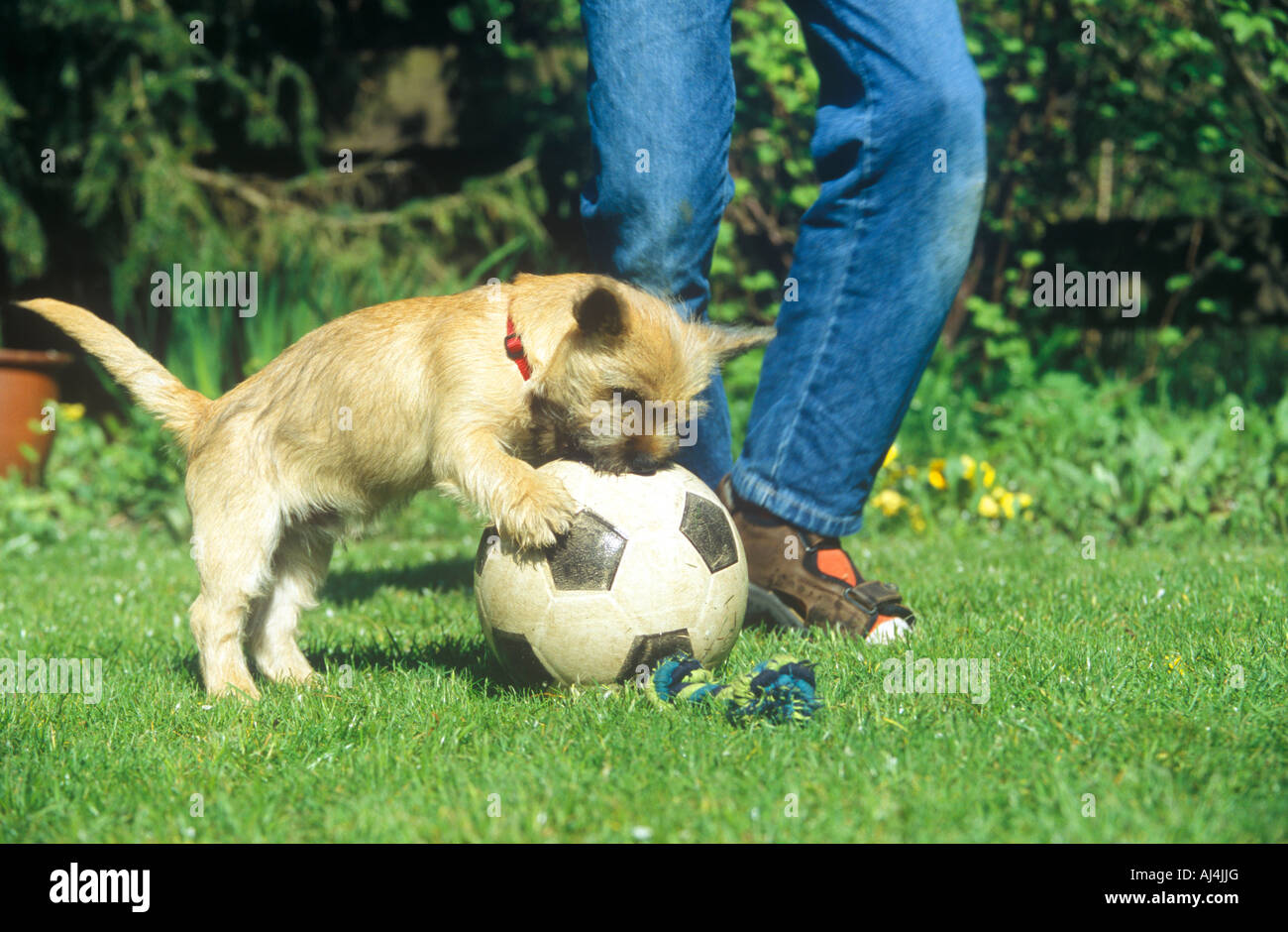 young Cairn Terrier playing football with its lordling - Stock Image