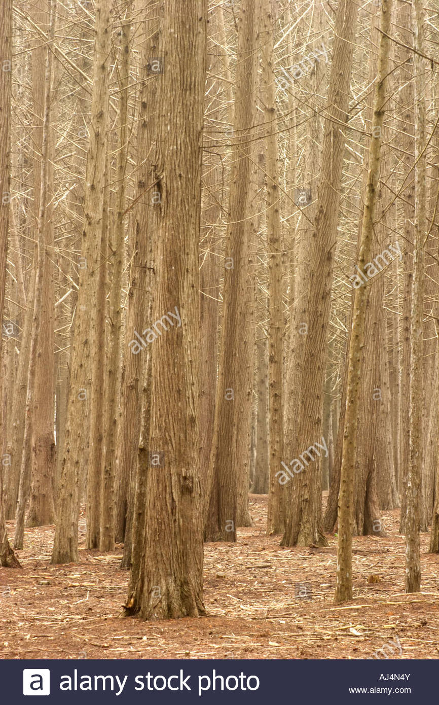 Monterey Pine Tree Forest James V Fitzgerald Marine Reserve California - Stock Image