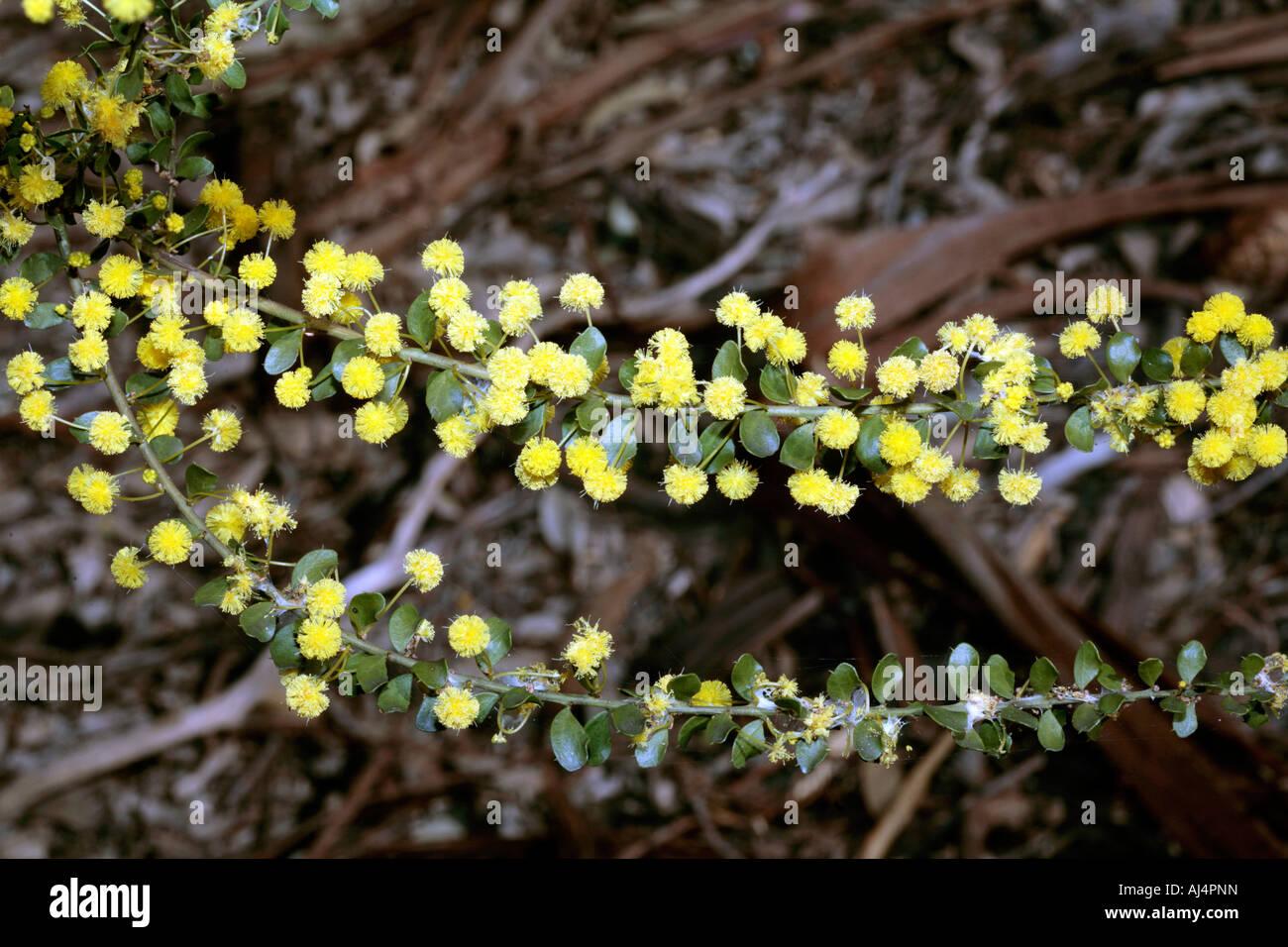 Gold-dust Wattle -Acacia acinacea- Family Fabaceae - Stock Image