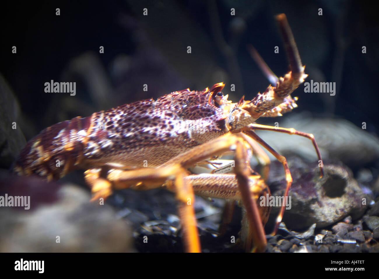 Lobster Underwater Lobster Underwa...