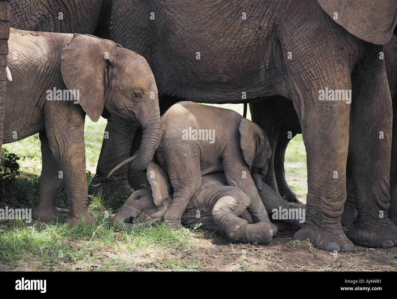 Baby elephants clamber over another baby whilst it rests in shade of mother Samburu National Reserve Kenya East Africa - Stock Image