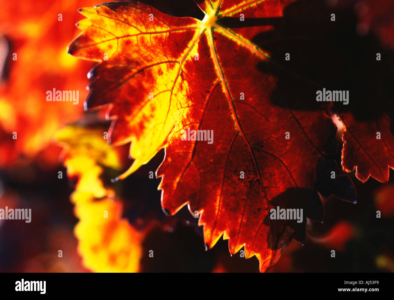 Rich red and gold Autumn Vine leaf Spain - Stock Image