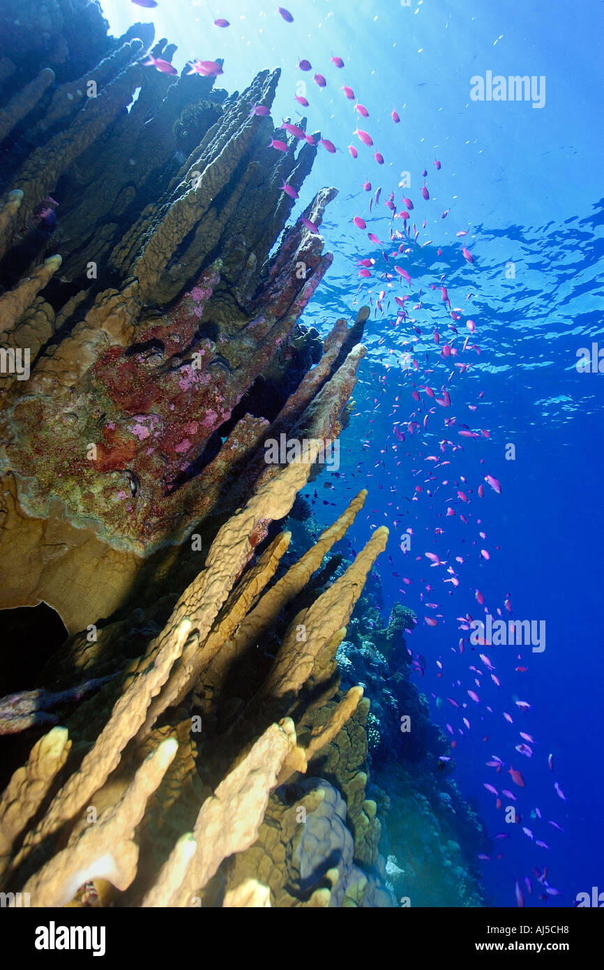 Fire coral Millepora platyphylla and  purple queen anthias Pseudanthias pascalus Ailuk atoll Marshall Islands Pacific - Stock Image