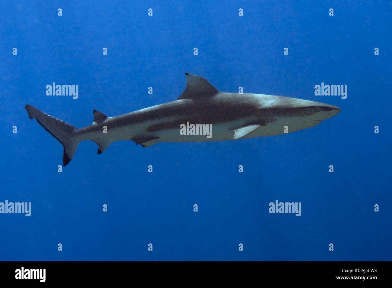 Blacktip reef shark Carcharhinus melanopterus Ailuk atoll Marshall Islands Pacific - Stock Image