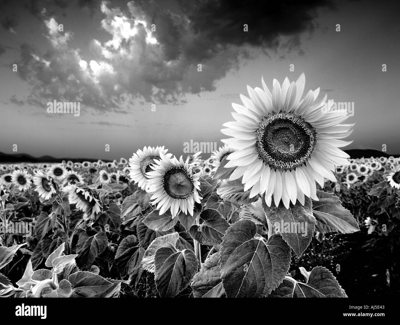 sunflowers in field cordoba andalucia spain - Stock Image