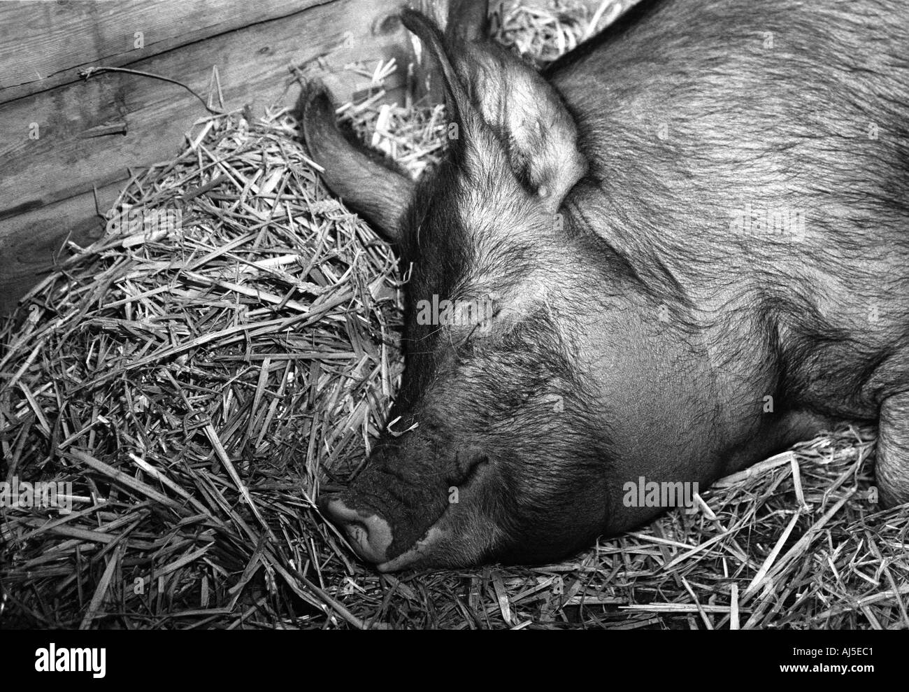 Prize winning pig asleep in stall at local agricultural show - Stock Image