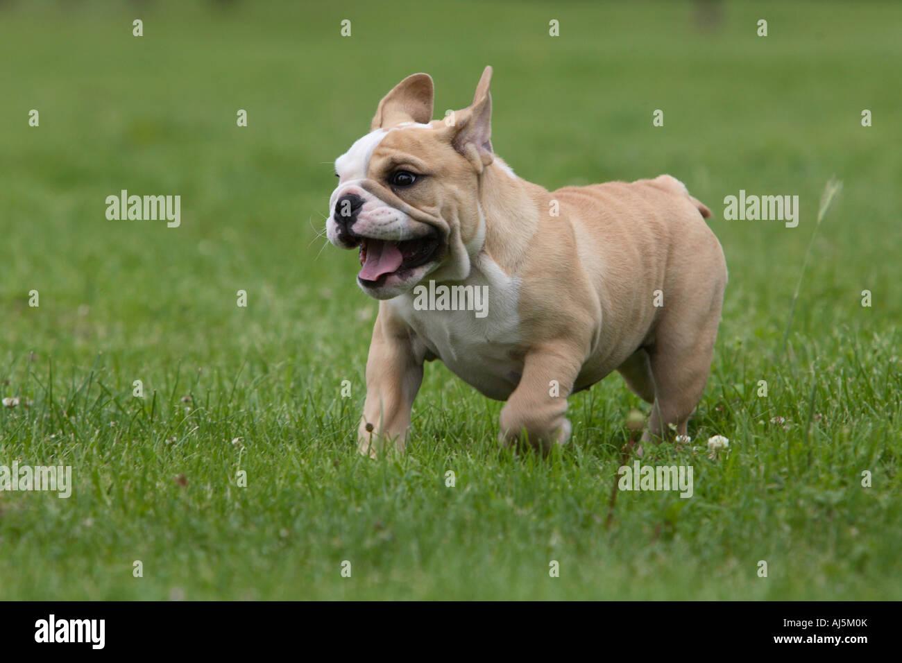 12 Week Old English Bulldog Puppy Running Stock Photo 14629890 Alamy
