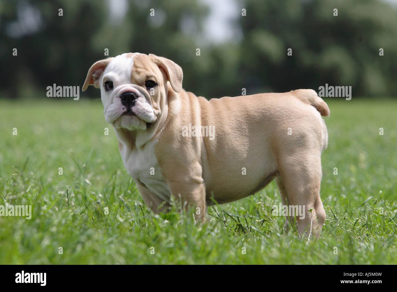 12 Week Old English Bulldog Puppy Stock Photo 14629896 Alamy