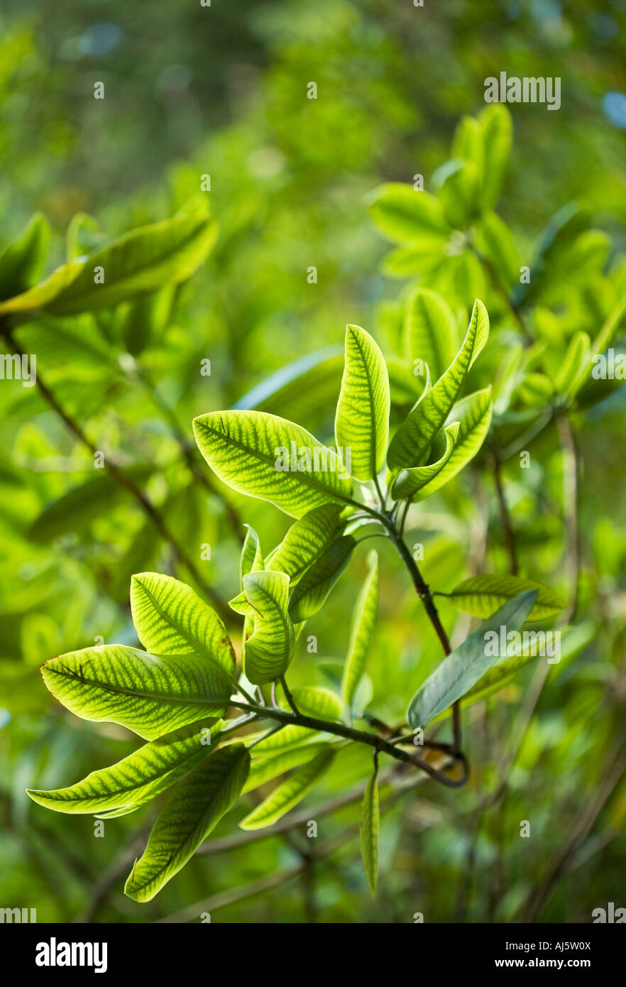 Rhododendron foliage - Stock Image