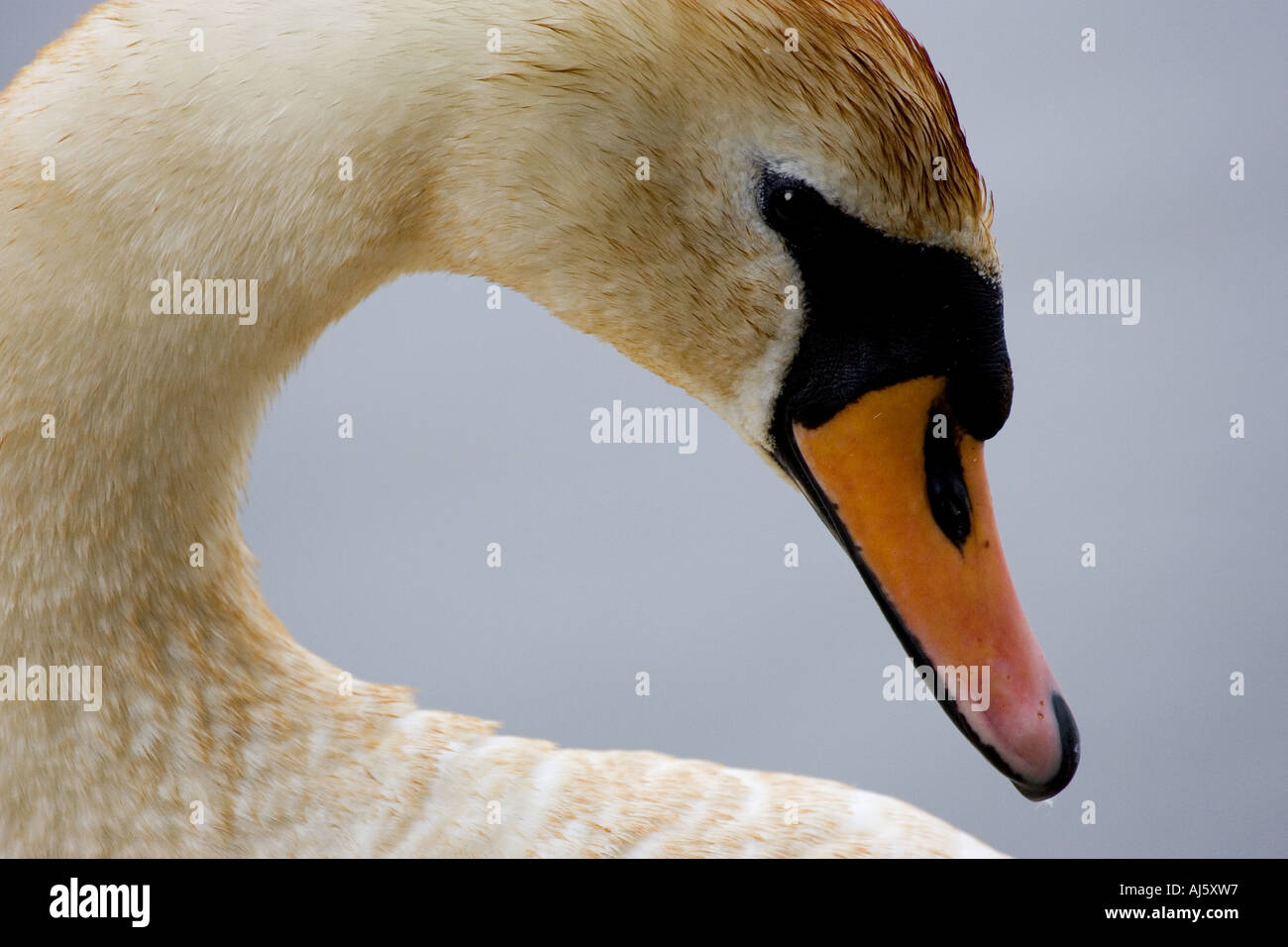 Mute swan in close-up - Stock Image