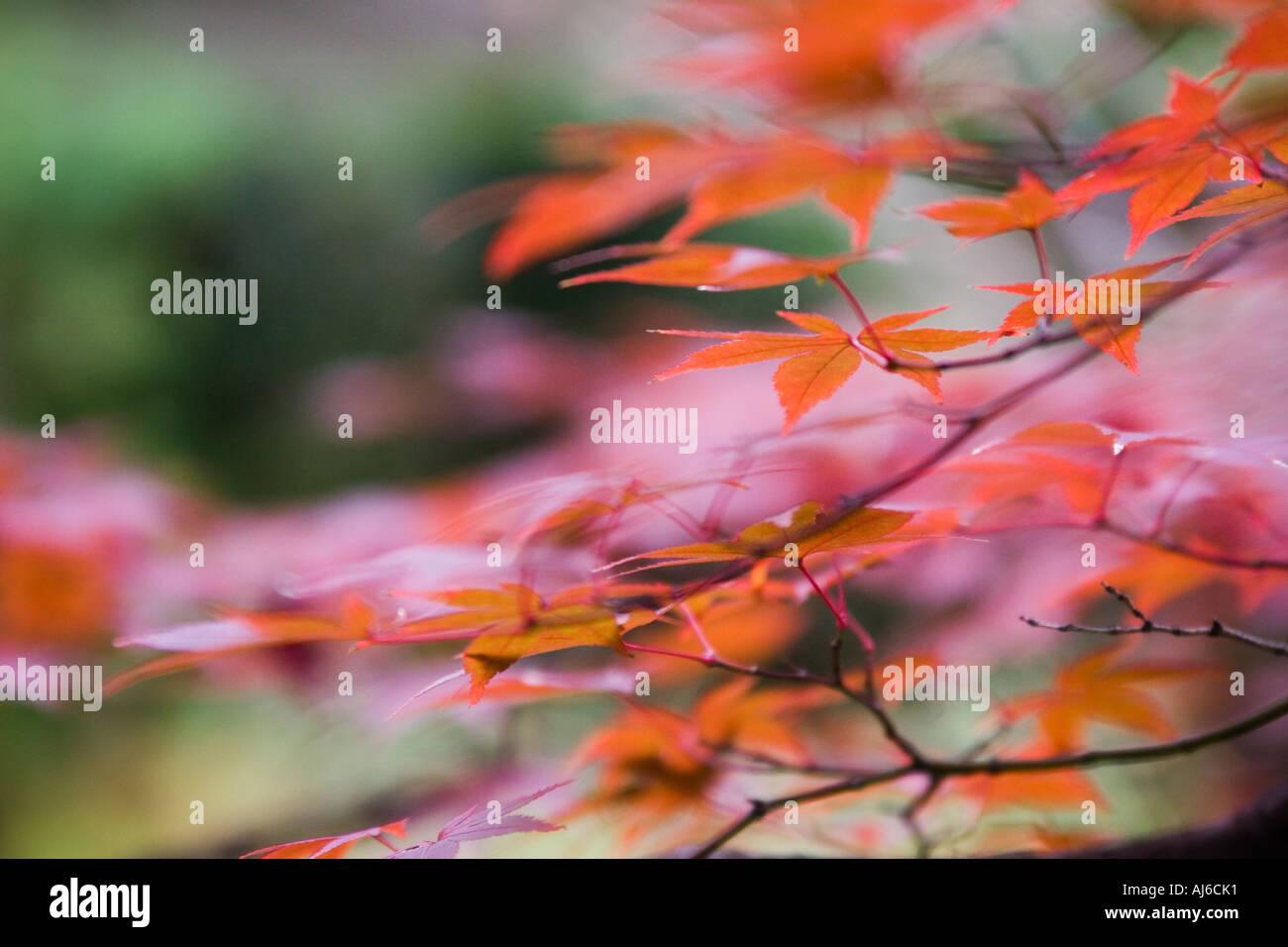 Japanese maple (Acer palmatum) detail in autumn colors at Daisen-in Temple, Daitokuji Temple, Kyoto, Kansai Region, Japan - Stock Image