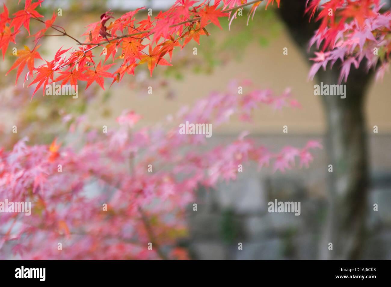 Japanese maple Acer palmatum during autumn at Daitokuji Temple Kyoto Kansai Region Japan - Stock Image