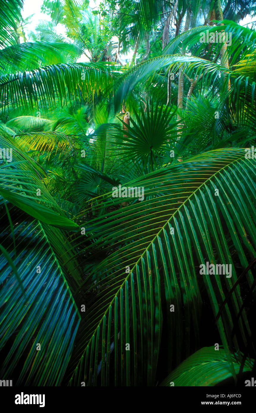 Dense tropical palms and vegetation in Belize Caribbean Property Released Image - Stock Image