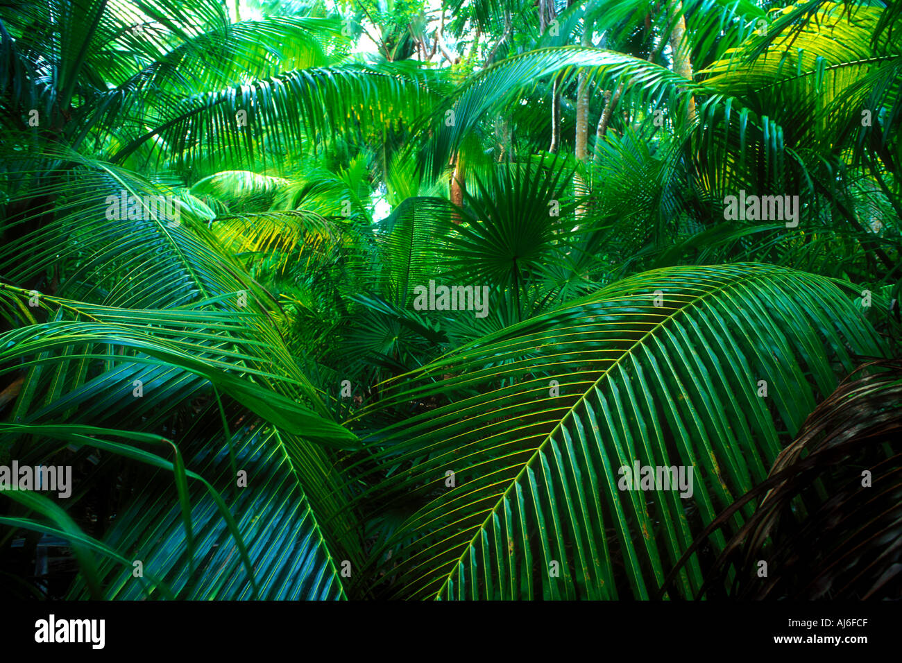 Dense coconut palm trees and tropical vegetation in Belize Caribbean Property Released Image - Stock Image