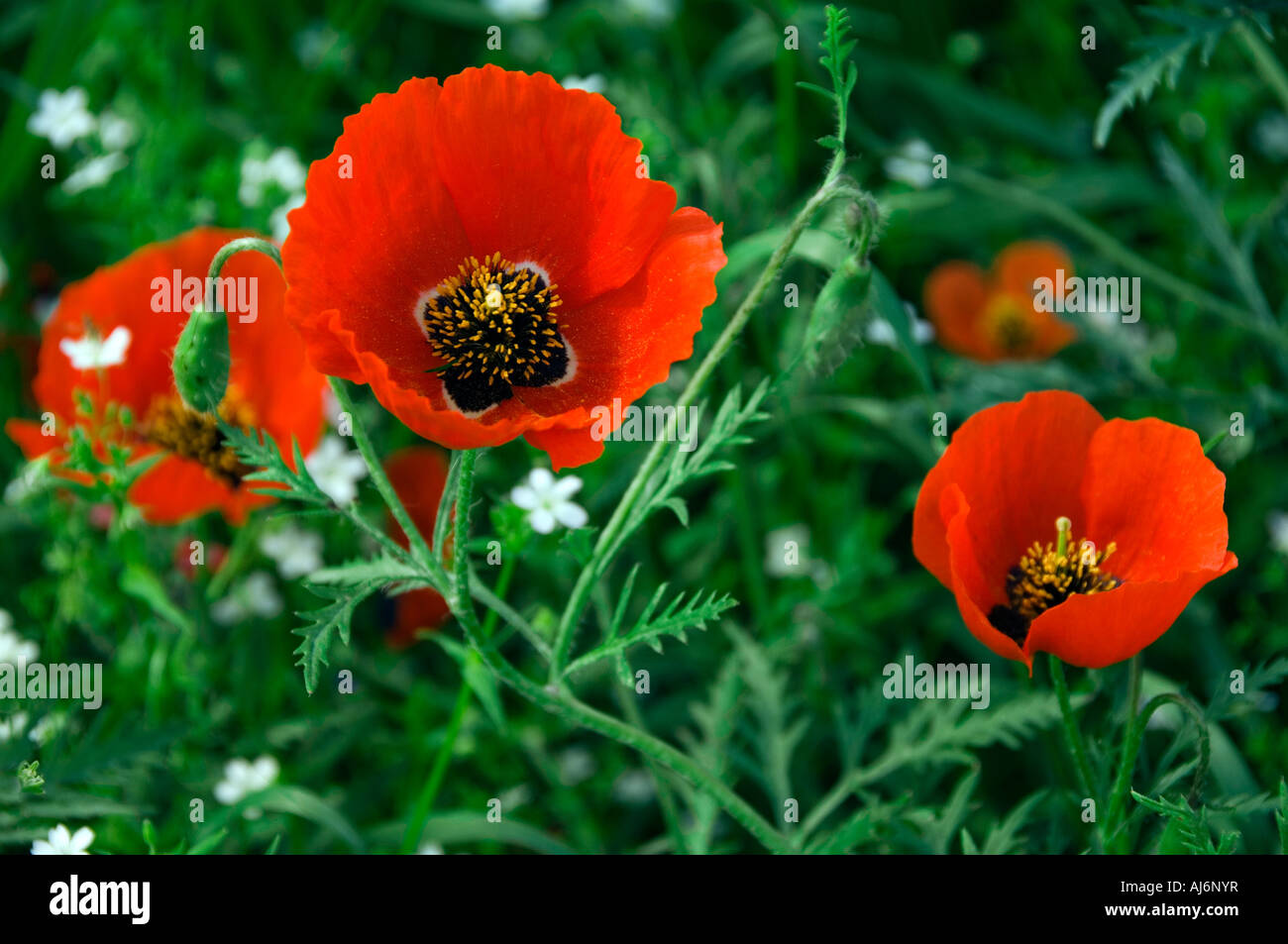 Field of red poppies Kyrgystan - Stock Image