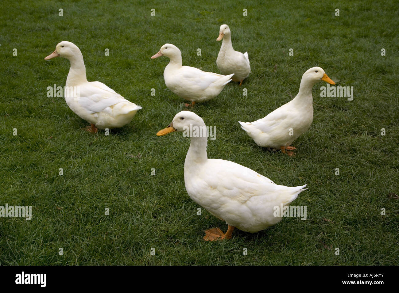 Aylesbury Duck Group - Stock Image