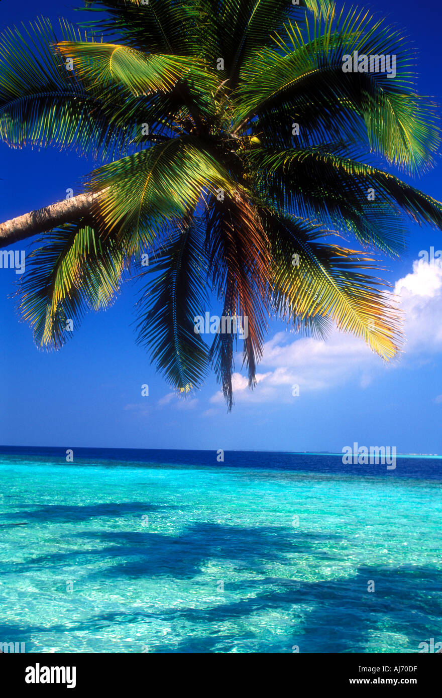 Coconut palm tree extended over shallow water in the Maldives Indian Ocean - Stock Image