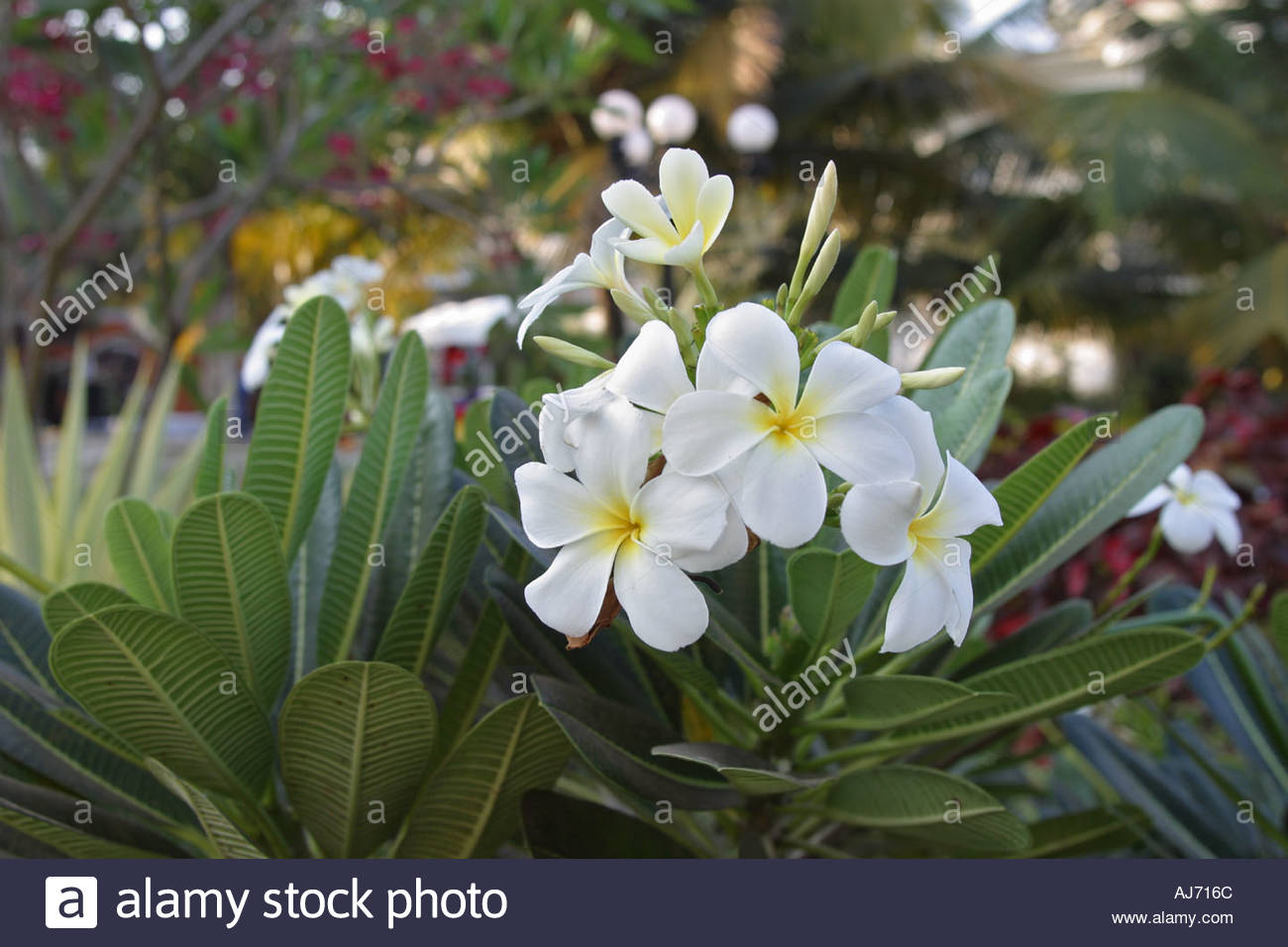 A White Flower Temple Tree In India Stock Photo 1208683 Alamy