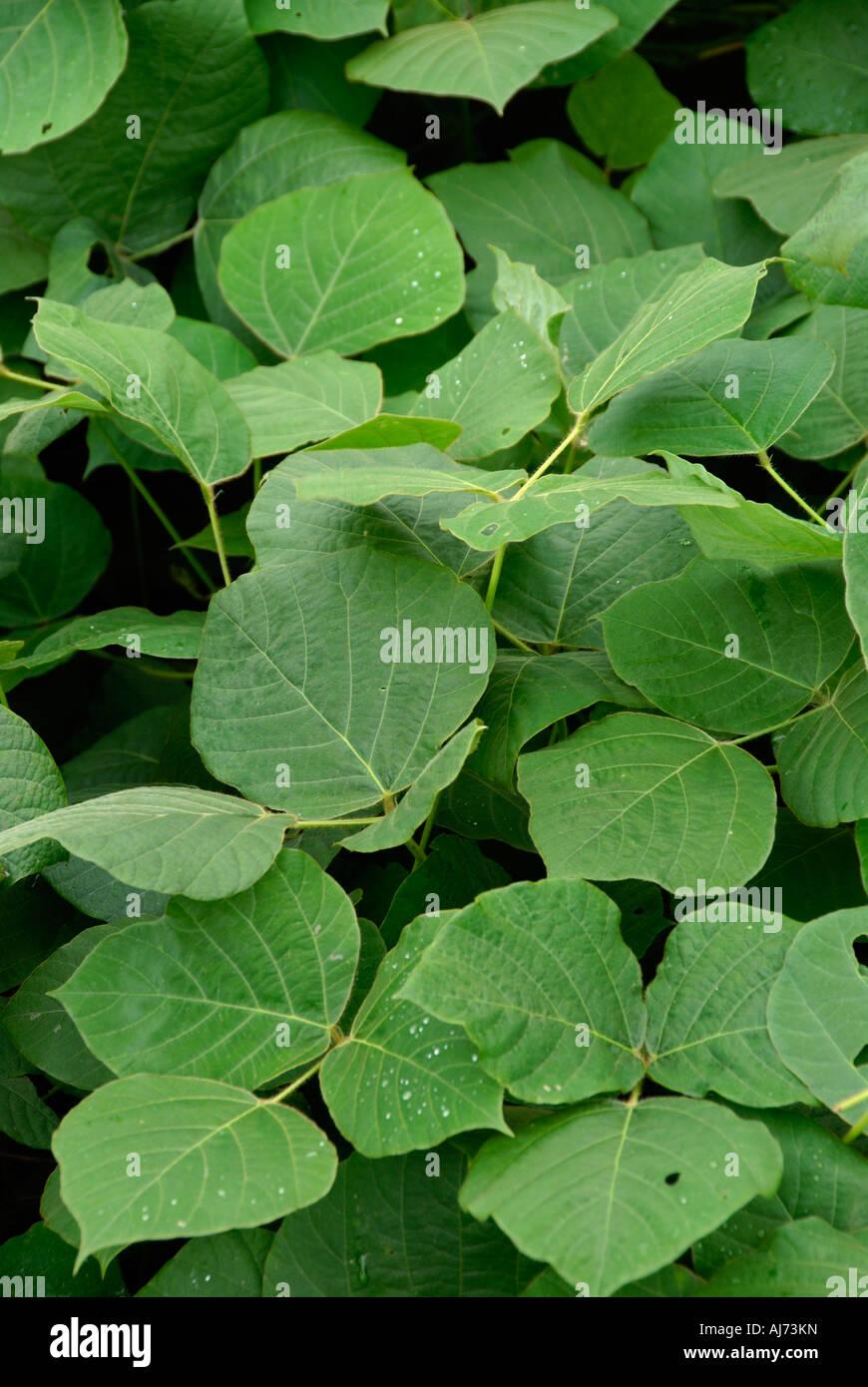 Kudzu Vines - Stock Image