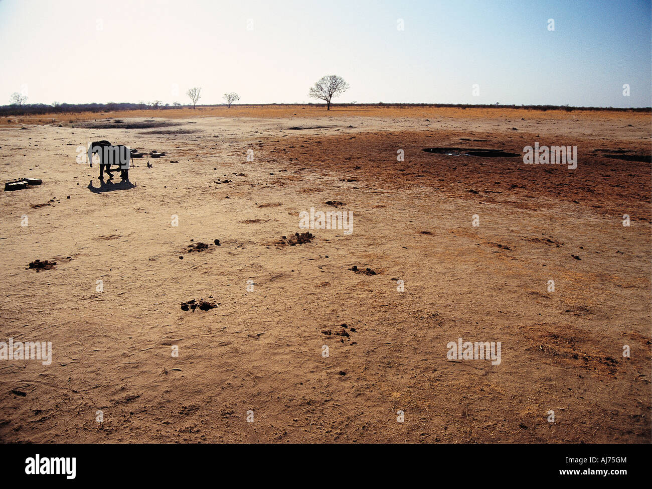 An elephant trudging across a drought stricken area close to the Botswana border in Zimbabwe - Stock Image