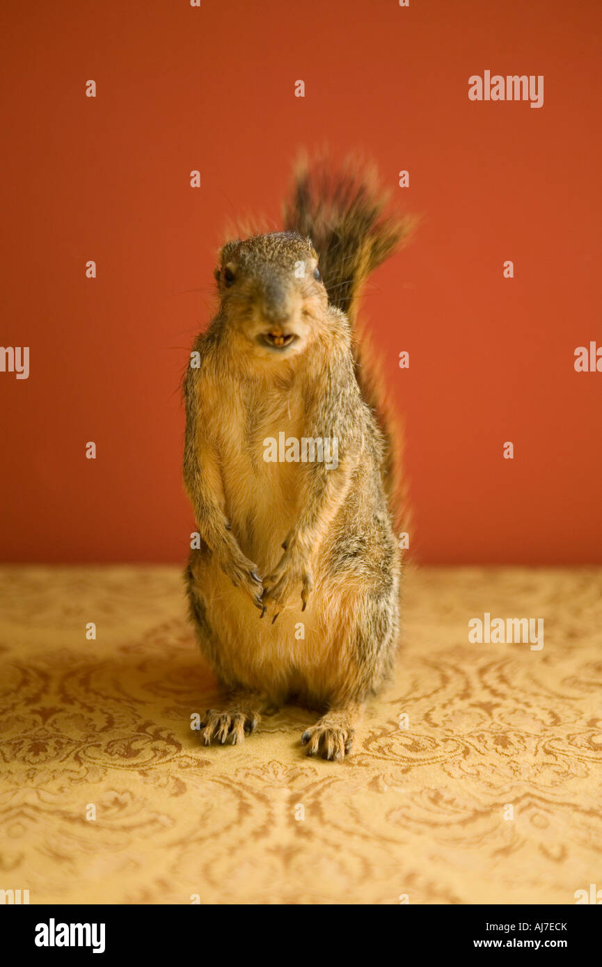 squirrel inside up on hind legs and tail up facing viewer - Stock Image