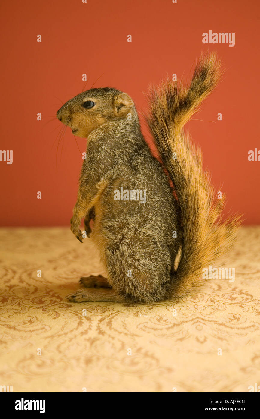 portrait of a squirrel with tail up standing up with orange red background - Stock Image